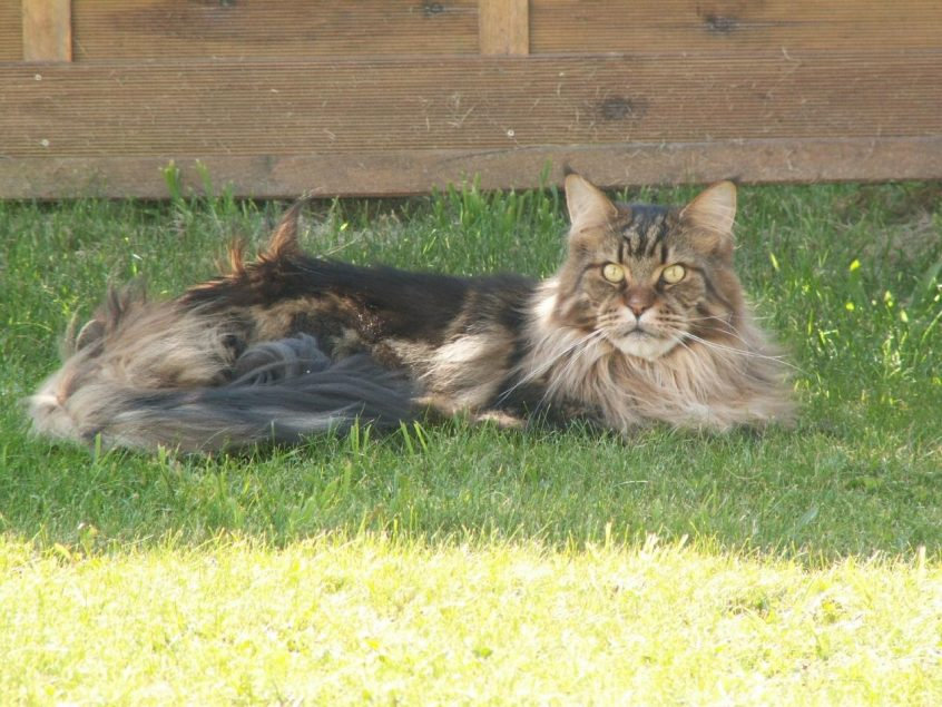 Maine coon type brown sauvage par Jacqueline Chabbi