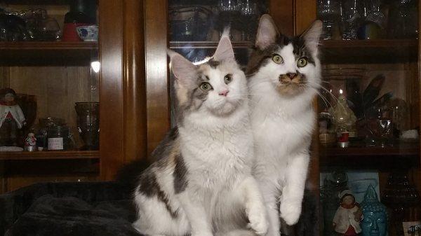 Samy et Oscha Chatterie de la Symphoriane