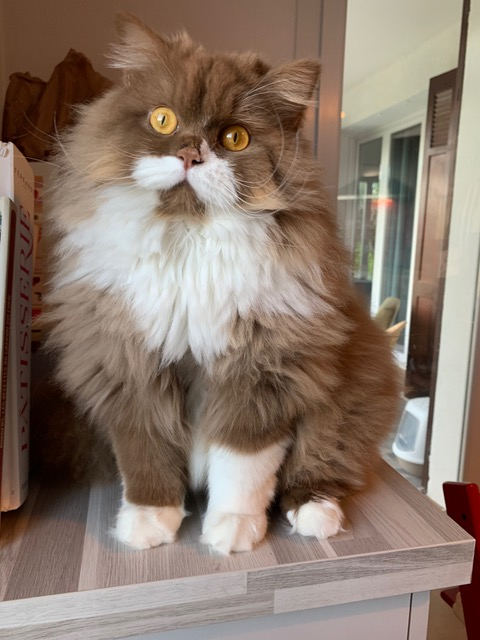 Chatterie Star Chance british longhair