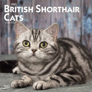 british shorthair 2021