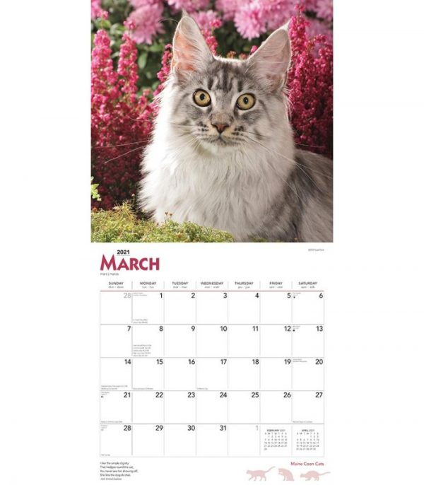 maine coon 2021 3